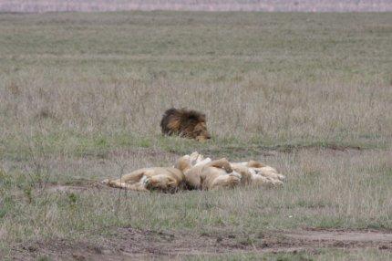 Löwen liegen faul im Ngorongoro-Krater rum
