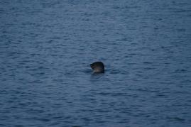 Kleine Robben im kalten Nass