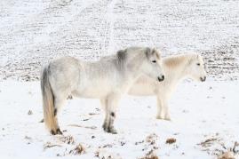 Immer wieder Ponys