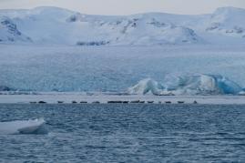 Robben in der Jökulsárlón