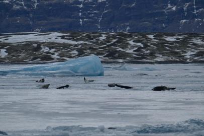 Viele Robben in Jökulsarlon