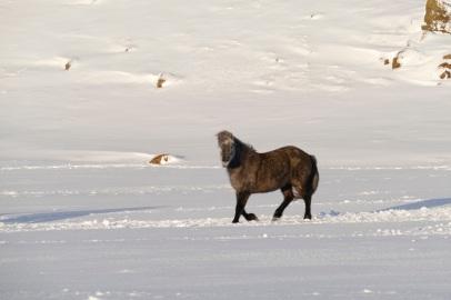 Islandpferde am Weg