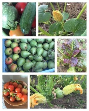 Birnen, Zucchini und Tomatenernte