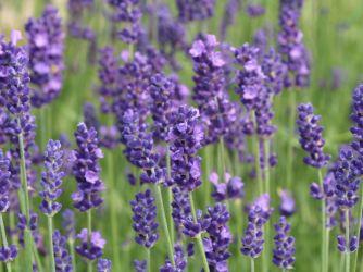 Lavendel (3)