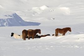 Die geliebten Islandpferde